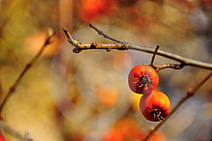 Wild Apples Royalty Free Stock Photography - Image: 15122187