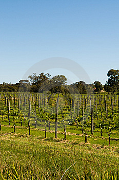 Clarendon Vineyards Royalty Free Stock Photography - Image: 15122377