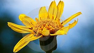 Yellow Flower Macro Royalty Free Stock Image - Image: 15124456