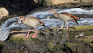Egyptian Goose Family Stock Images - Image: 15126824