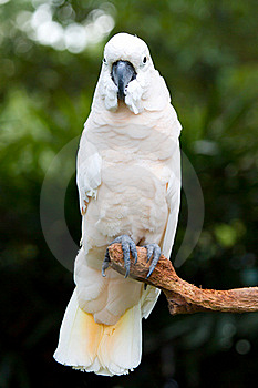 A White Parrot Stock Photography - Image: 15130942