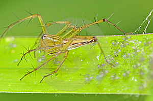 Lynx Spider And Babies Stock Photography - Image: 15138552