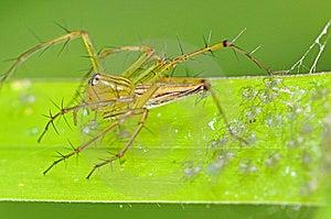 Araignée Et Chéris De Lynx Photographie stock - Image: 15138552