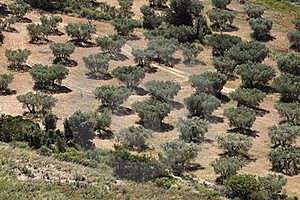 Olive Grove In Provence Stock Photo - Image: 15139340