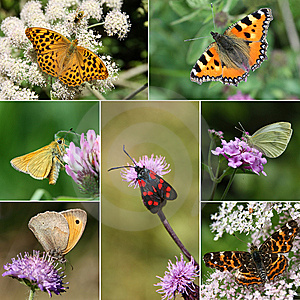 European Butterfly Species Collection Stock Photography - Image: 15139642