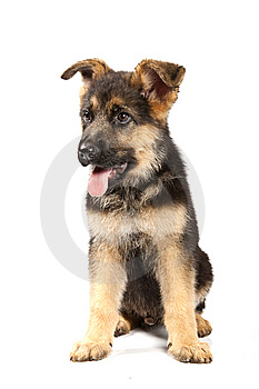 German Shepard Dog Stock Images - Image: 15143614