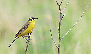 Yellow Wagtail Stock Photos - Image: 15145153