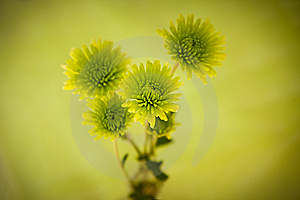 Green Chrysanthemum Flowers Royalty Free Stock Photos - Image: 15146448