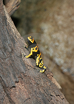 Yellow-banded Poison Dart Frog Stock Photography - Image: 15151792