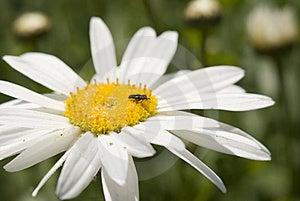 Daisy Royalty Free Stock Image - Image: 15153266