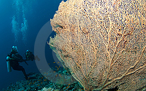 Gorgonian Sea Fan And Diver Royalty Free Stock Image - Image: 15154336