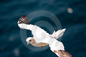 Flying Gannet Stock Image - Image: 15154561