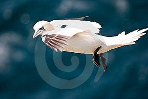Flying Gannet Stock Images - Image: 15154584