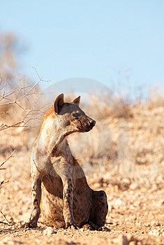 Spotted Hyaena (Crocuta Crocuta) Stock Image - Image: 15155861