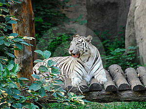 Bengal White Tiger 5 Royalty Free Stock Image - Image: 15164616