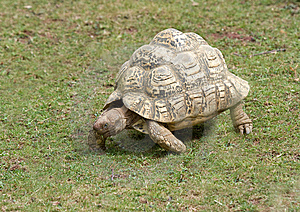 Tortoise Walking Stock Photo - Image: 15175450