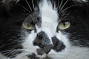 Death Glare From Cat Stock Photography - Image: 15177442