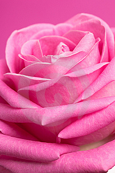 Pink Rose On Magenta Royalty Free Stock Photo - Image: 15182695