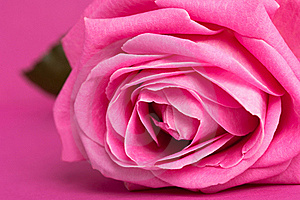 Pink Rose On Magenta Stock Photography - Image: 15182842