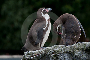 Penguins Stock Photo - Image: 15184280
