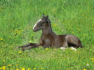 Horse Colt Royalty Free Stock Images - Image: 15185039