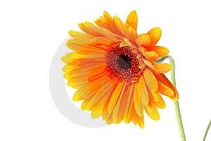Bright Orange Gerbera Flower Stock Photos - Image: 15189513