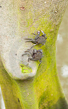 Purple Shore Crab (Tree Climbing Crab) Stock Images - Image: 15191334