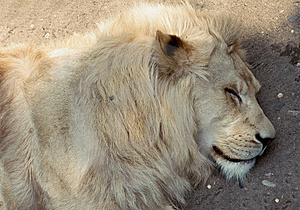 Sleeping Lion Stock Photos - Image: 15193583