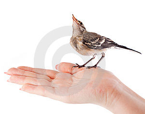 Nestling Of Bird (wagtail) On Hand Royalty Free Stock Photos - Image: 15198488