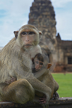 monkey-26 Royalty Free Stock Images