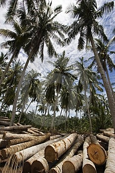 Coconut Tree Royalty Free Stock Photography - Image: 1525977