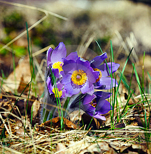 Blue Pasqueflower In Spring Royalty Free Stock Image - Image: 15204466