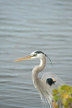 Great Blue Heron Stock Images - Image: 15204724