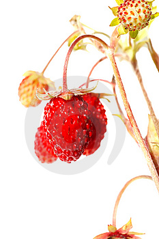 Wild Strawberry Stock Images - Image: 15213284