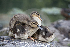 Baby Mallard Ducks Stock Image - Image: 15217571