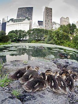 Baby Mallard Ducks Royalty Free Stock Image - Image: 15217576