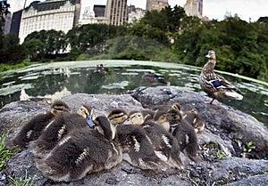 Baby Mallard Ducks Royalty Free Stock Photography - Image: 15217587