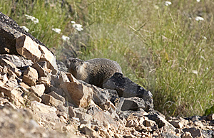 Marmot On The Hill. Royalty Free Stock Photos - Image: 15217698