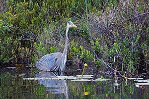 Great Blue Heron Stock Image - Image: 15217771