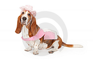Basset Hound Dog Wearing A Pink Cowboy Outfit Royalty Free Stock Photo - Image: 15218475