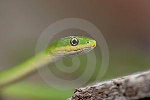 Green Snake Stock Images - Image: 15219434