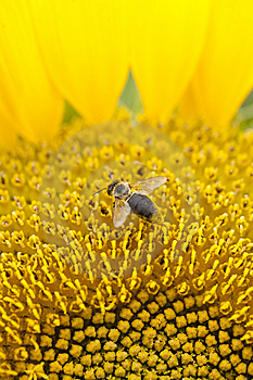 Bee On Sunflower Stock Photos - Image: 15219743