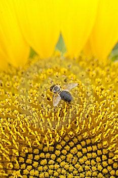 Bee On Sunflower Stock Photos - Image: 15219743