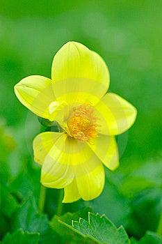 Beautiful Yellow Flower On Green Background Stock Photo - Image: 15221340