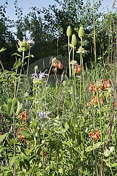 Michigan Wild Lily (Lilium Michiganense) Stock Photos - Image: 15221993