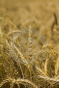 Wheat Or Corn Stock Photo - Image: 15224900