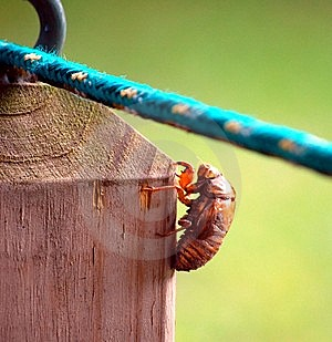 Cicada Royalty Free Stock Image - Image: 15225386