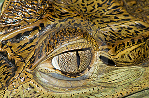 Crocodile Eye Stock Photography - Image: 15229872