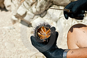 Sea Urchin Royalty Free Stock Photography - Image: 15231027