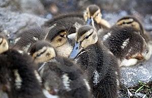 Baby Mallard Ducks Stock Photos - Image: 15231363